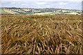 SS9200 : East Devon : Crop Field by Lewis Clarke