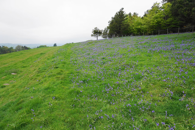 Bluebells by Moatless Plantation