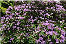 TL7835 : Hedingham Castle and Gardens: Rhododendron near the lake by Michael Garlick
