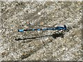 TL0748 : Common blue damselfly by M J Richardson