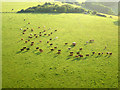 TQ3110 : Cattle, Tegdown Hill - aerial view by Robin Webster