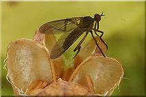 SJ3999 : The daggerfly Empis livida, Melling by Mike Pennington
