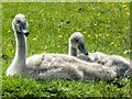 SD7908 : Two Cygnets by David Dixon