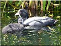 SD7807 : Coots (Fulica atra) on the Canal at Radcliffe by David Dixon