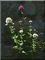 SD4972 : Red Valerian, Warton Crag (2) by Karl and Ali