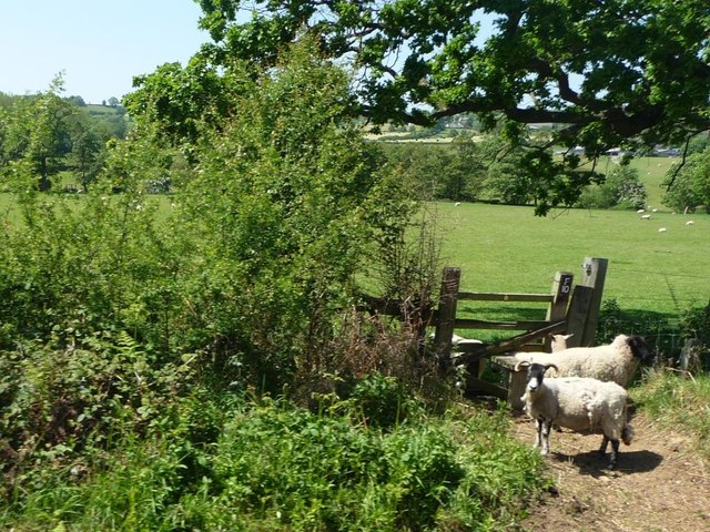 Sheep on the wrong side of the footpath stile
