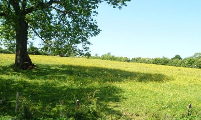 Farmland with buttercups, Idridgehay