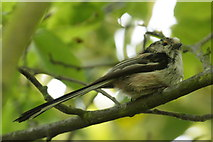 SJ3999 : Adult Long-tailed Tit (Aegithalos caudatus), Melling by Mike Pennington