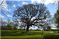 TQ5740 : Oak tree, St John's Recreation Ground by N Chadwick