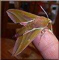 SP9211 : Elephant Hawk Moth - Imago - Top view by Rob Farrow