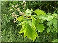 TQ2538 : Wild Service Tree - detail by Robin Webster