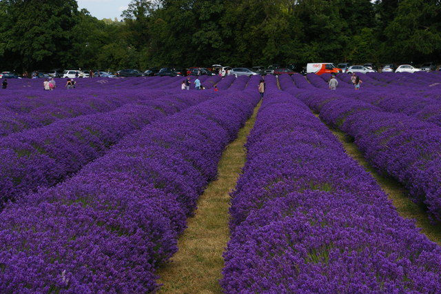 Lavender fields open to the public, Mayfield Lavender Farm