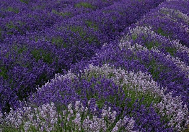 Lavender growing, Mayfield Lavender Farm