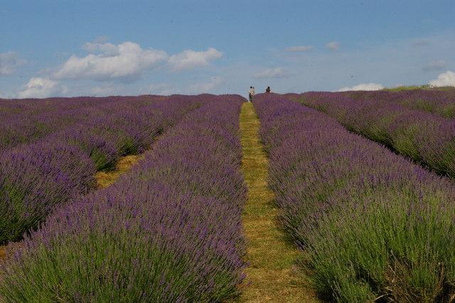 Lavender fields open to the public, Mayfield Lavender Farm