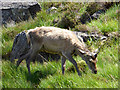 NG4920 : Red deer fawn on the slopes of Sgurr na Stri by Oliver Dixon
