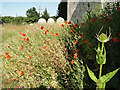 TG3928 : Teasels and poppies in Lessingham churchyard by Adrian S Pye
