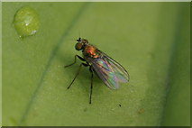 SJ3999 : A small dolichopid fly, Melling by Mike Pennington