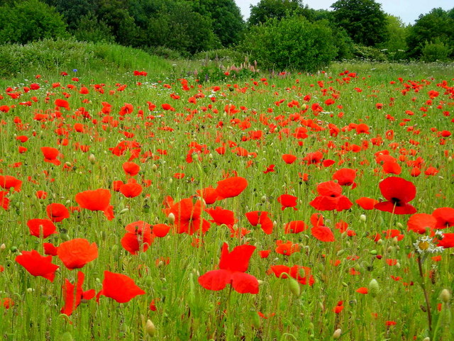 Poppies in Blondin Park nature reserve by Mark Percy