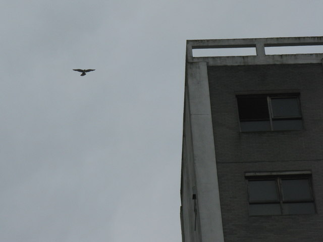 Peregrine at Chancelot Mill