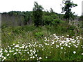 H4945 : Daisies, Mullaghfad Forest by Kenneth  Allen