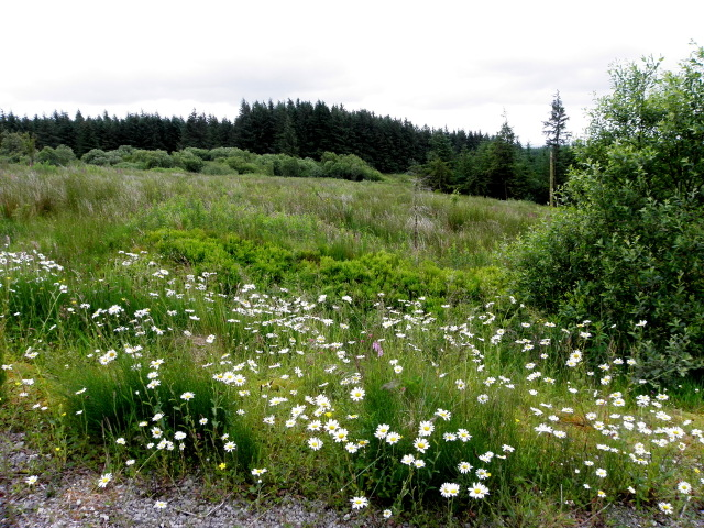 Daisies, Mullaghfad Forest