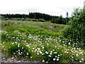 H5341 : Daisies, Mullaghfad Forest by Kenneth  Allen