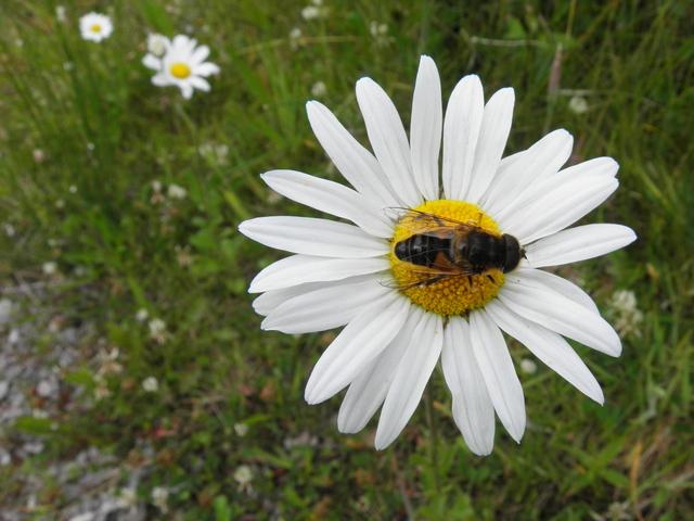 Fly on a daisy, Mullynavale