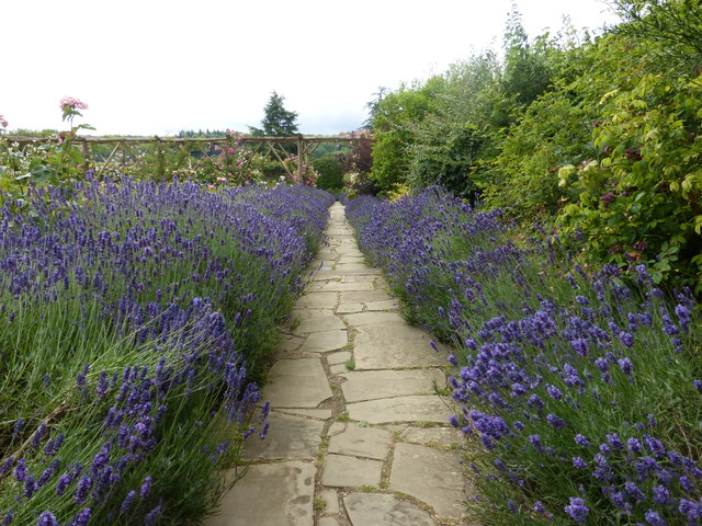 Lavender at Polesden Lacey