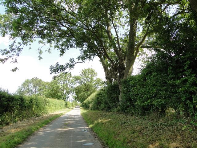 Ash tree at Rudham
