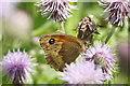 SJ4094 : Meadow Brown (Maniola jurtina), Croxteth Country Park by Mike Pennington