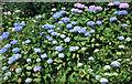 SJ6780 : Hydrangeas at Arley Hall by Anthony O'Neil