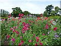 SK9226 : Sweet pea week at Easton Walled Garden by Sandra Humphrey