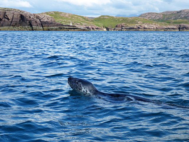 Grey seal and Eilean Mullagrach