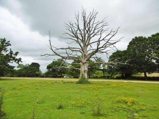 Bartley, dead oak tree