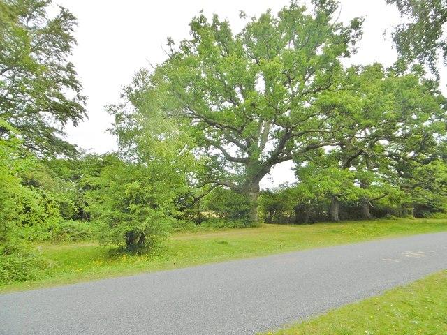 Bartley, oak tree