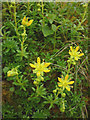 SD8475 : Yellow saxifrage, Plover Hill by Karl and Ali