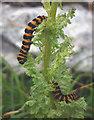 SD4972 : Cinnabar moth caterpillars by Karl and Ali