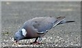 J4774 : Wood pigeon, Kiltonga, Newtownards (July 2015) by Albert Bridge