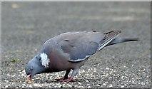 J4774 : Wood pigeon, Kiltonga, Newtownards (July 2015) by Albert Bridge