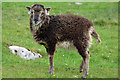 NF1099 : Soay sheep on Hirta by John Allan