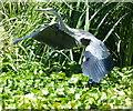 SK5702 : Heron taking flight by Mat Fascione