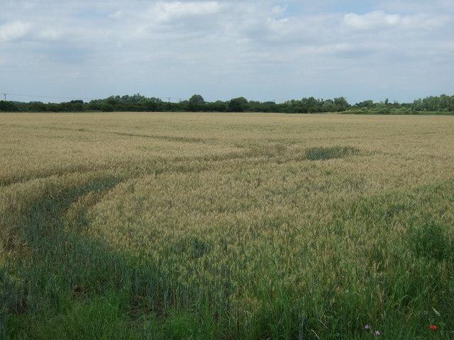 Crop field off College Road (B1160)