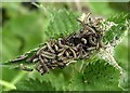 SX9063 : Caterpillars on nettle, Cockington valley by Derek Harper