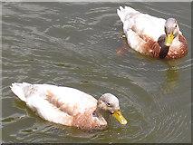 SJ6855 : Queen's Park: a pair of ducks by Stephen Craven