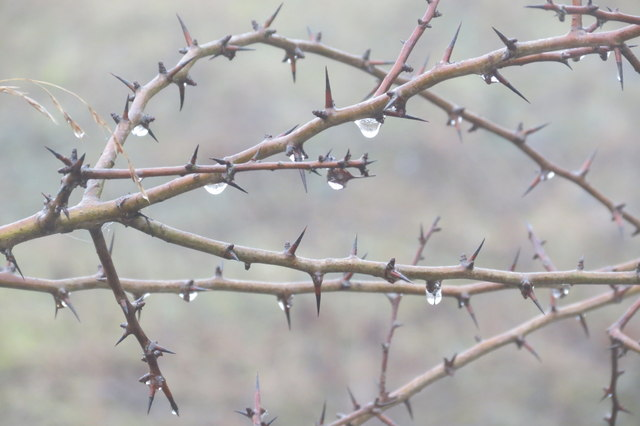 Hawthorn twigs dripping with water in the fog at College Lake