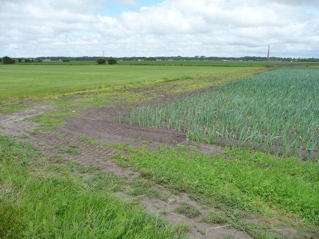 Western corner of a field of garlic, Burscough Moss