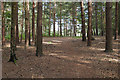 SU9666 : Pine woods, Wentworth Nature Reserve by Alan Hunt