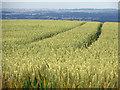 TA0213 : Ripening Wheat on Elsham Hill by David Wright