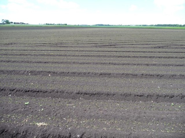 Field with emerging crop, west of Curlew Lane