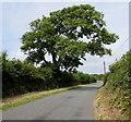 SR9896 : Dominant tree near Stackpole by Jaggery